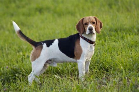 Beagle: Robuster Jagdhund mit unklarem Ursprung