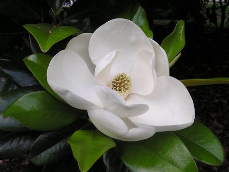 flower bloom wallpapers southern magnolia flower wallpapers
