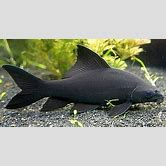 baby-mekong-catfish