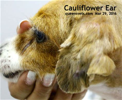 ear hematoma left untreated ear hematoma left untreated breeds picture