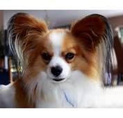 Papillon Puppy HD Wallpaper  Animals Wallpapers