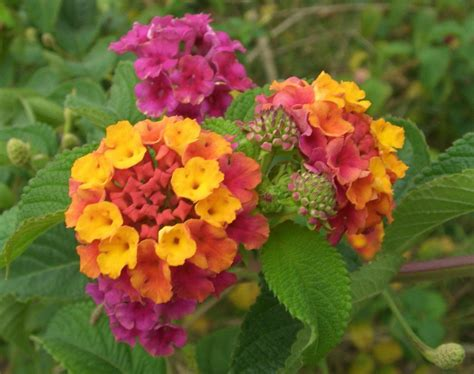 lantana colors lantana quot mixed quot lantana seeds a neon rainbow