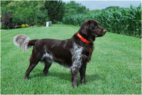 small munsterlander facts pictures puppies breeders