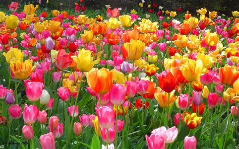 image of spring flowers tulip wallpapers wallpaper cave