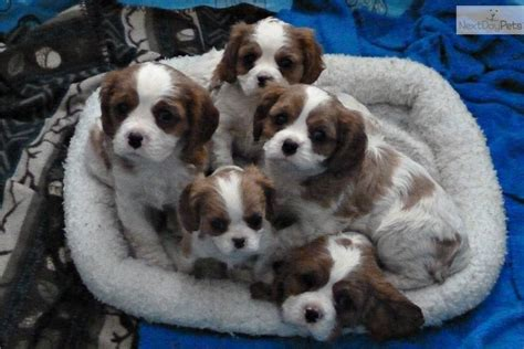 st charles cavalier puppy cavalier king charles spaniel puppy for sale near minneapolis st paul minnesota