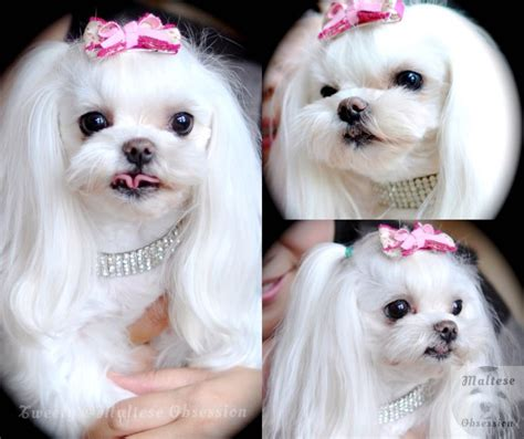 maltese haircut styles pictures maltese obsession maltese pinterest pets hairstyles