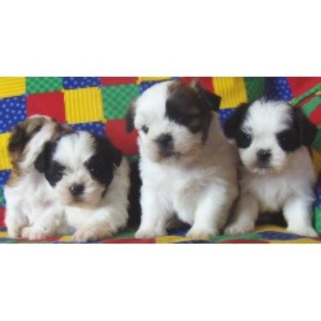 shih tzu puppies for sale in ri puppies for sale in ri rhode island imperial shih tzu puppies for breeds picture