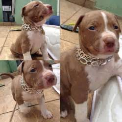 brown pit awesome brown white nose pitbull puppy pit bulls