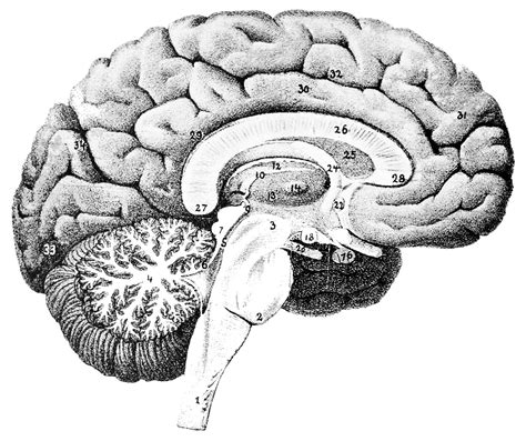 cross section human brain run your city like a healthy body 183 living cities
