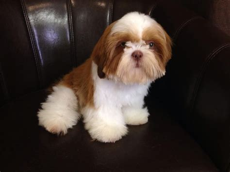 imperial shih tzu 5 month small imperial shih tzu boy dorchester dorset pets4homes