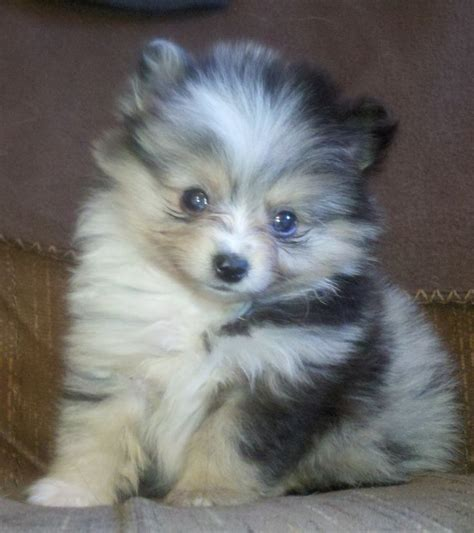 pomeranian chi 79 best images about pomchi on chihuahuas puppy pictures and white pomeranian