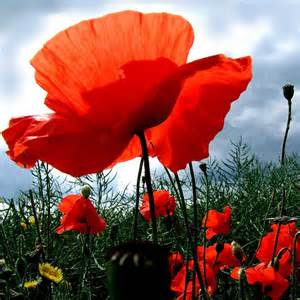 poppies on pinterest paper flowers wedding memorial day