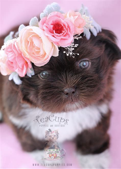 shih tzu puppies for sale in adorable shih tzu puppies for sale teacups