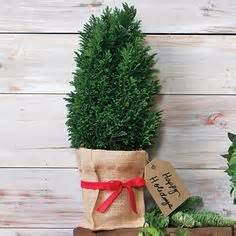 european cypress christmas tree cypress trees tree care and trees on