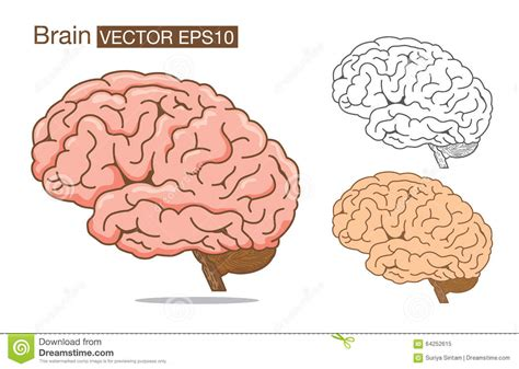 brain color brain vector outline and color on stock vector
