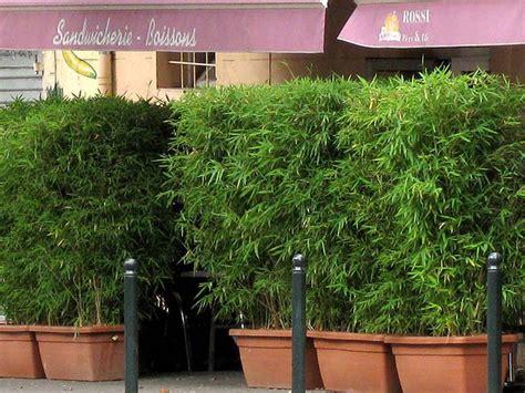 bambus als sichtschutz im kübel bambus im k 252 bel kaufen sichtschutz bambusb 246 rse