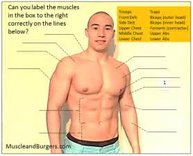 Muscle anatomy diagram by muscle and burgers