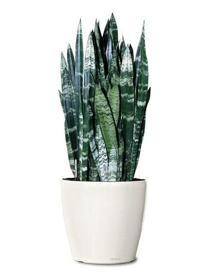 Snake Plant Light by Black Coral Snake Plant In S Tongue