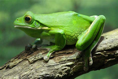 una rana a frog frog the animal kingdom