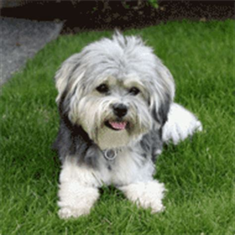 havanese eye problems havanese breed dogs information