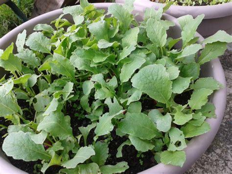 cuisiner les feuilles de radis le radis l 233 gume de la semaine 14 fruits et l 233 gumes de
