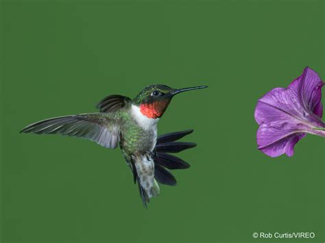 ruby throated hummingbird migration