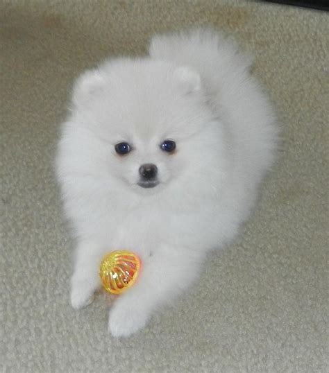 white pomeranian puppies below are our exles of whites we produced here to give you an idea what our
