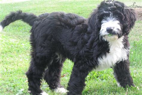 bernese mountain puppies ky bernese mountain puppy for sale near kentucky 05cf0d88 2e11