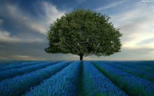 Tapeta Lawendowe, Pole, Drzewo