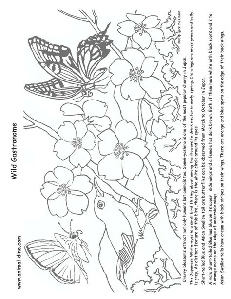 cherry blossom coloring pages az coloring pages
