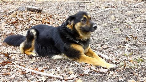 rottweiler shepherd chow mix the adorable gorgeous beautiful chow shepherd rottweiler mix outside