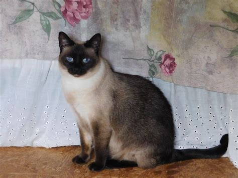 what color are cats change of eye color in a siamese cat