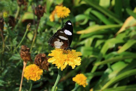 Yellow Marigold yellow marigolds butterfly free stock photo