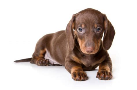 names for brown dogs 101 brown names pethelpful