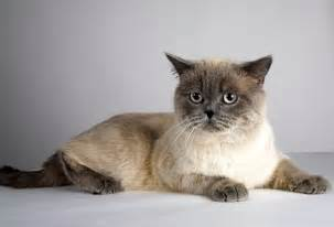 do shorthair cats shed about animals
