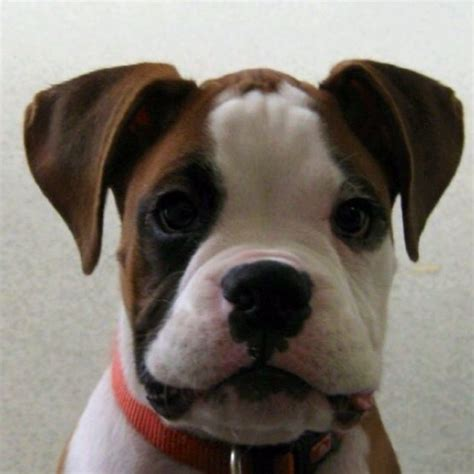 buy boxer puppy best 20 boxer puppy ideas on boxer puppies baby boxer puppies and