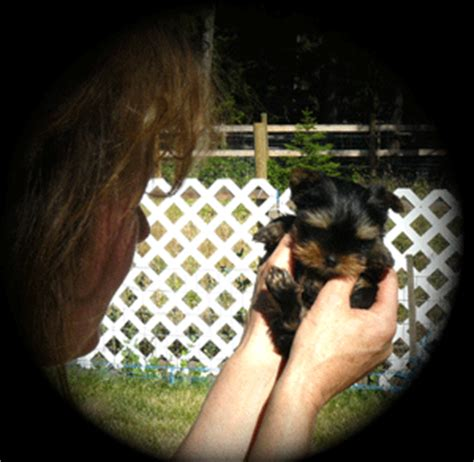 yorkie puppies for sale in edmonton www thunderinghillqhyorkies