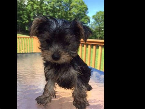 yorkies for sale in new york yorkies in new york terrier puppies for sale