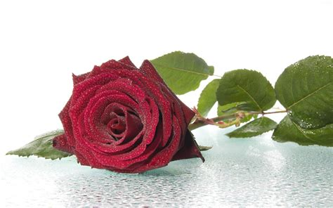 imagenes rosas dark wallpapers red rose wallpapers