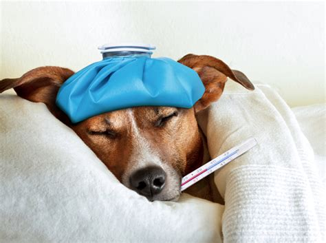 sick dogs sick as a what to do when your pup has a cold wag
