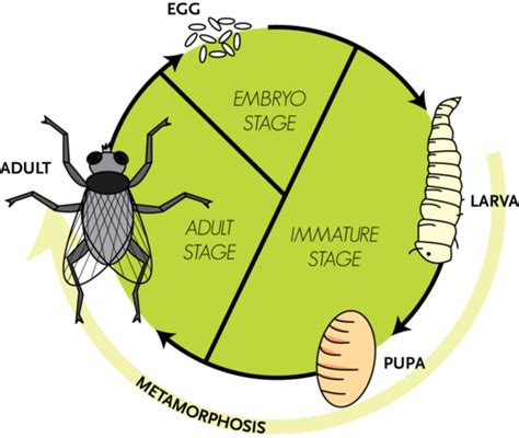bug cycle diagram arthropods and insects ck 12 foundation