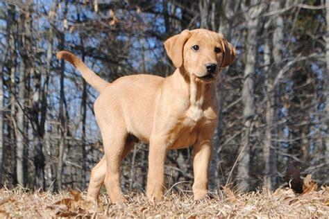 working golden retriever breeders uk working labrador retriever breeders dogs our friends