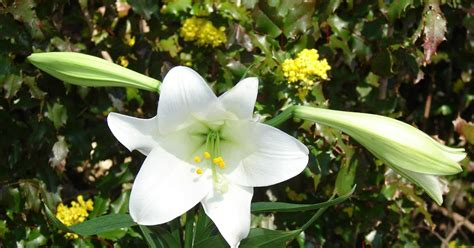 neighbors easter lily history