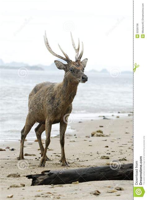L Rusa timor or rusa deer cervus timorensis stock photo image of rusa mammal 32326708