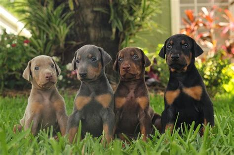 doberman colors doberman for sale price cost where to buy doberman puppies