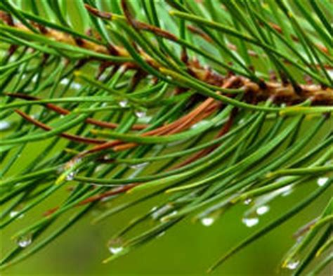 Pine Needle Brain Detox by Pine Health Benefits Side Effects