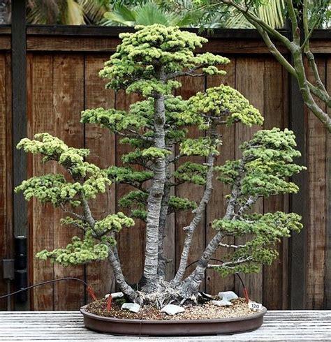 old bonsai tree bonsai trees 50 year old atlas cedar bonsai cedar