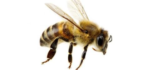 stung by bee on paw dogs cats pets pet authority
