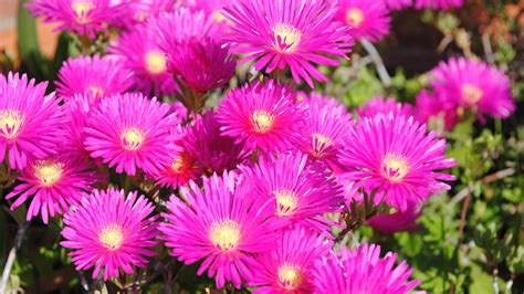 piante grasse da fiore piante grasse con fiori magri fiorella de nicola