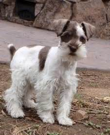 parti colored lola miniature schnauzer at 3 months she s a liver